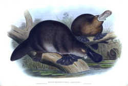 Planche extraite de The mammals of Australia de John Gould