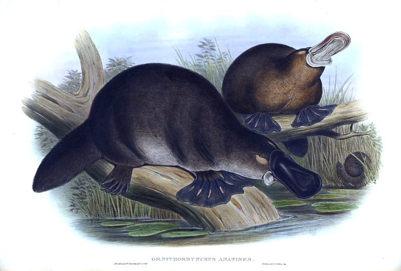 File:Gould John Duckbilled Platypus 1845-1863.png
