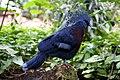 Goura victoria -ZooParc de Beauval, France-6a.jpg