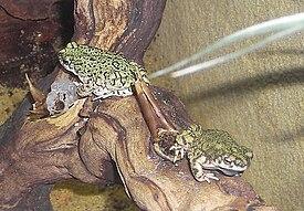Американские жабы — Википедия
