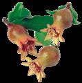 Granatblüte.png