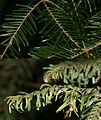 Grand Fir - normal, healthy foliage (above) and with aphid damage (below) - Flickr - S. Rae.jpg