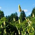 Grass seed heads (9228170318).jpg