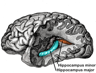 Great Hippocampus Question - The hippocampus minor is a small fold on the occipital horn towards the back of the brain (to the right) to the rear of the hippocampus major which forms a curved ridge on each side of the lower central area.