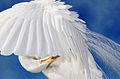 Great-egret-preening.jpg