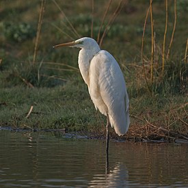 Great Egret Ardea alba.jpg