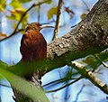 Great Rufous Woodcreeper (Xiphocolaptes major) (30926679514).jpg