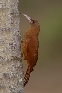 Great rufous woodcreeper.jpg