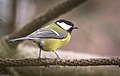 Great tit (39646007541).jpg