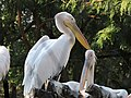 Great white pelicans in Nehru Zoo.jpg