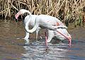 Greater Flamingo, Phoenicopterus roseus at Marievale Nature Reserve, Gauteng, South Africa (21282928320).jpg