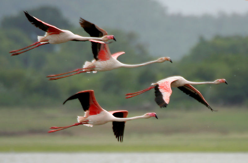 File:Greater Flamingoes (Phoenicopterus roseus) after taking off  W2 IMG 9857.jpg