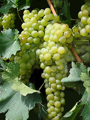 Phoenicians and wine - Ampelographers theorize that the Vitis vinifera pontica vine spread by the Phoenicians across the Mediterranean was an ancestor vine to many of the world's most widely planted white grape varieties.
