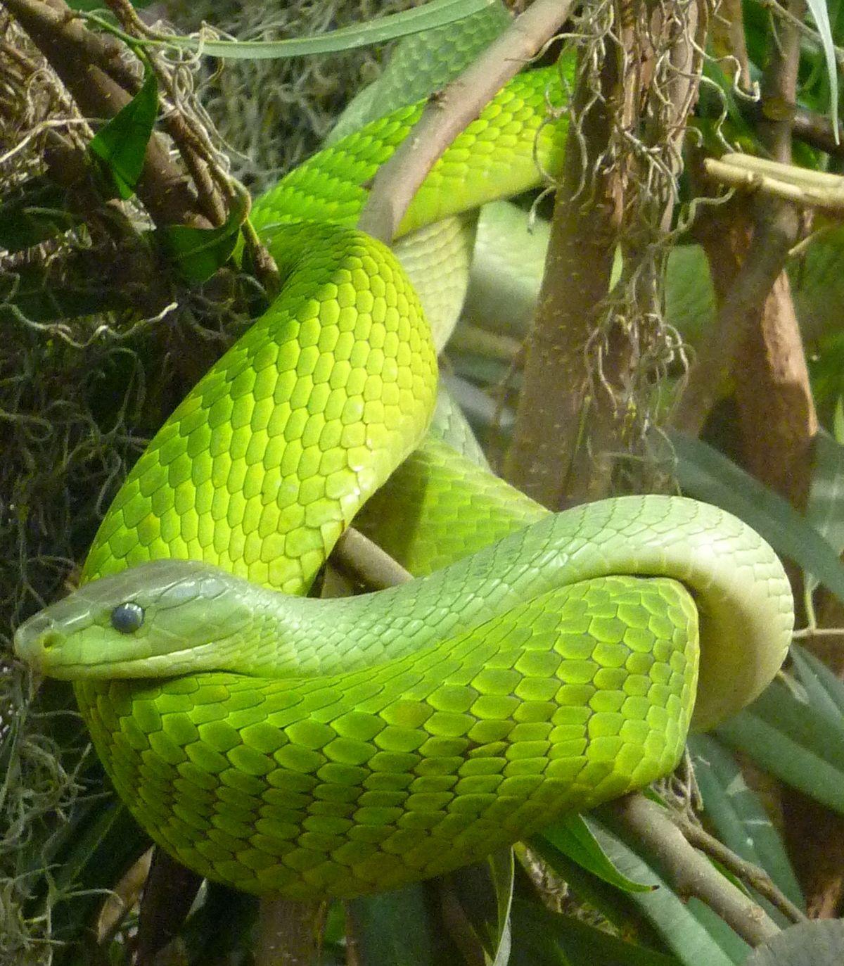 Escamas de las serpientes - Wikipedia, la enciclopedia libre