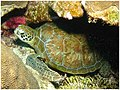 Green Turtle at Bonaire (448937266).jpg