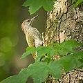 Green woodpecker (51328564315).jpg
