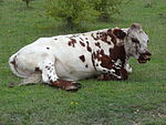 Greenham Common Cattle 3.JPG
