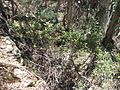 Grevillea victoriae subsp. victoriae habitat.jpg