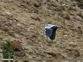 Grey Heron (Ardea cinerea) (23084343182).jpg