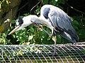 Grey Heron (Ardea cinerea) (7979297205).jpg