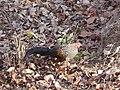 Grey junglefowl in Nagarahole TR, AJTJ P1090178.jpg