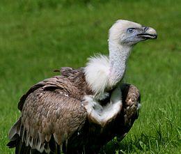 Griffon Vulture (Gyps fulvus) (20)
