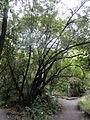 Griselinia littoralis 1.JPG