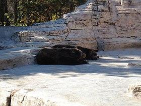 Grizzly Bear Winnipegzoo.jpg