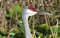 Grus canadensis (Sandhill Crane) 52.jpg