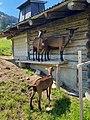 Gstaad Goats in Summer.jpg