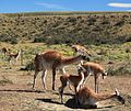 Guanaco herd near Torres del Paine National Park (5484363506).jpg