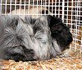 Guinea pig (1235602438).jpg