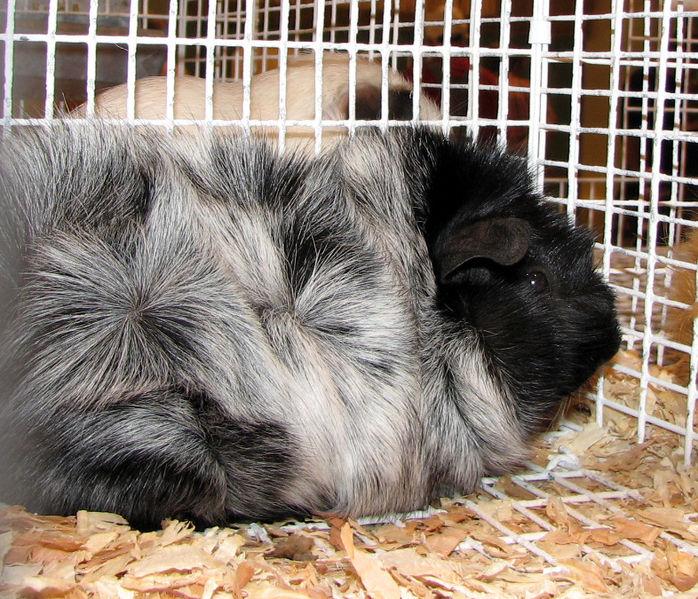 File:Guinea pig (1235602438).jpg