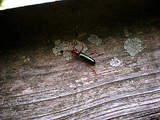 <i>Compsocerus</i> Genus of beetles