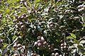 Gumnut tree.jpg