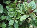Gynura bicolor.JPG