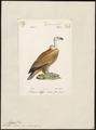 Gyps fulvus - 1842-1848 - Print - Iconographia Zoologica - Special Collections University of Amsterdam - UBA01 IZ18100067.tif