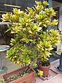 HK Mid-levels High Street clubhouse green leaves plant February 2019 SSG 89.jpg