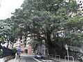 HK Sai Ying Pun 列堤頓道 Lyttelton Road evening tree Sept-2010.JPG