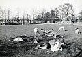 HUA-168122-Afbeelding van damherten in het hertenkamp van het Julianapark te Zuilen. N.B. Het Julianapark is per 1 januari 1954 bij de gemeente Utrecht gevoegd.jpg