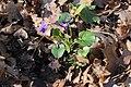 Haard 25.03.2017 Violet - Viola sp. (33983337711).jpg
