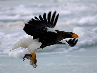 Steller's sea eagle - A Steller's sea eagle flying with a fish in Hokkaido, Japan