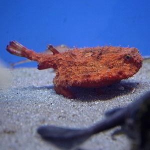 Starry handfish - Image: Halieutaea stellata by Daiju Azuma