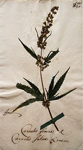 Hanfpflanze, Teil des Herbariums von Goethe (Quelle: Wikimedia)