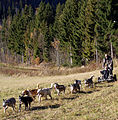 Hard working dogs - 2 (2954145267).jpg