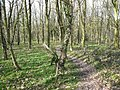 Hardwick Wood - Footpath leading to yew tree - geograph.org.uk - 358085.jpg