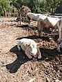Harvest Festival in countryside - Livestocks - cattle.jpg