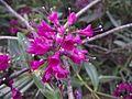 Hebe macrocarpa brevifolia.jpg