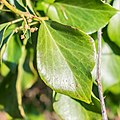Hedera helix in Causse Comtal (3).jpg