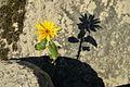 Helianthus tuberosus* (8076335267).jpg